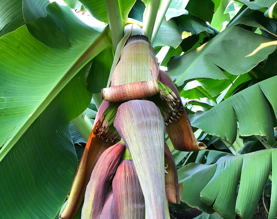 Upplev Indien - bananodling - bananblomma