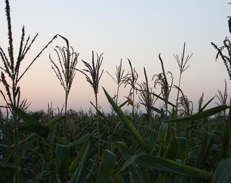 Upplev Indien - majsodling