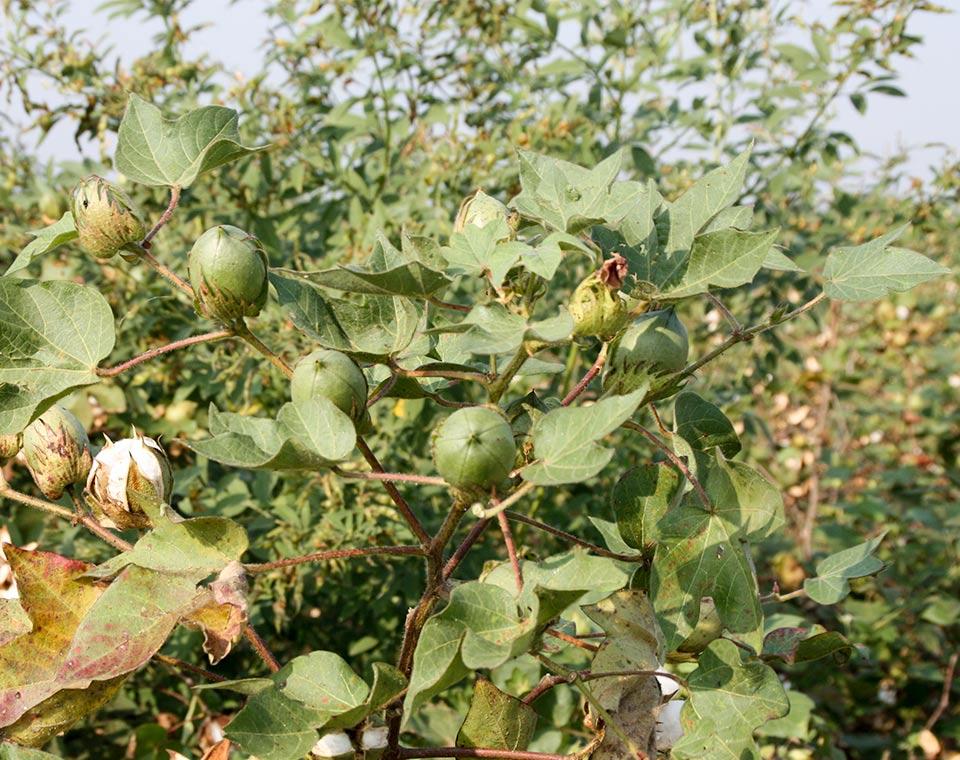 Upplev Indien - bomullskapsel