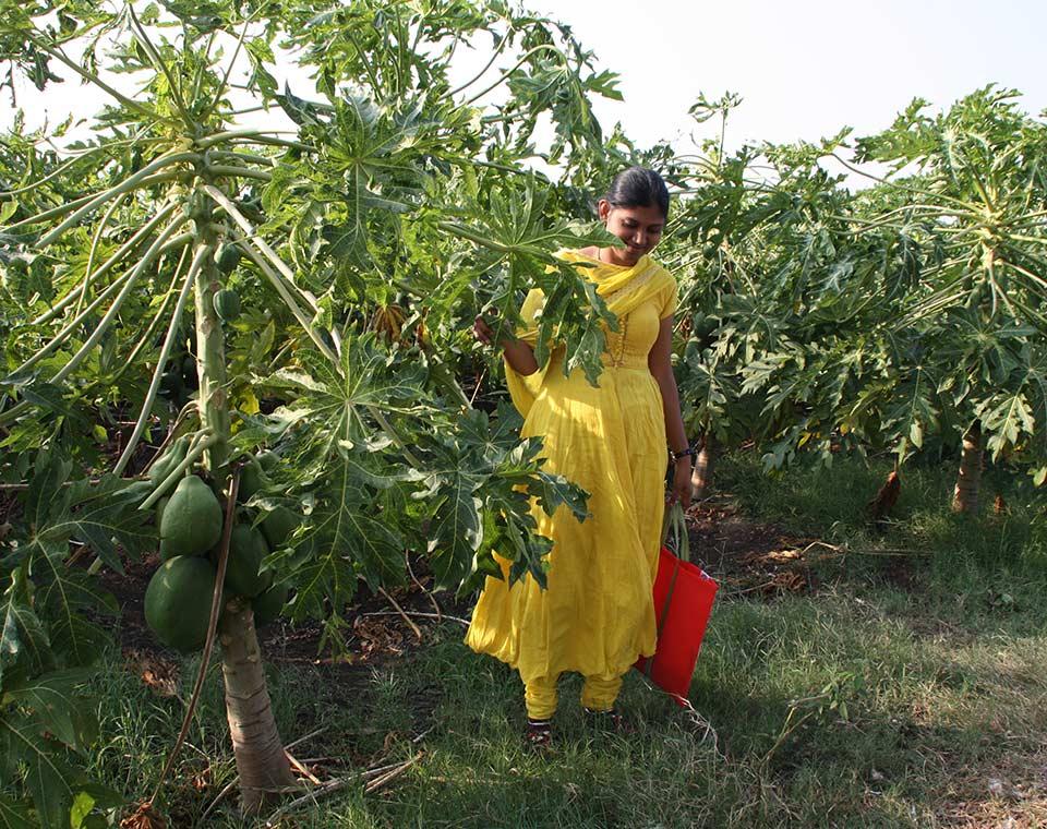 Upplev Indien - papayaodling